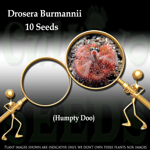 SEEDS: Sundew > Drosera Burmannii loc Humpty Doo, Australia for sale | Buy carnivorous plants and seeds online @ South Africa's leading online plant nursery, Cultivo Carnivores