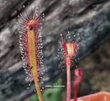 Sundew:  Drosera Capensis loc Gifberg Pass (Seed grown) for sale | Buy carnivorous plants and seeds online @ South Africa's leading online plant nursery, Cultivo Carnivores