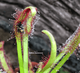 SUNDEW: Drosera Capensis, Typical Form for sale | Buy carnivorous plants and seeds online @ South Africa's leading online plant nursery, Cultivo Carnivores