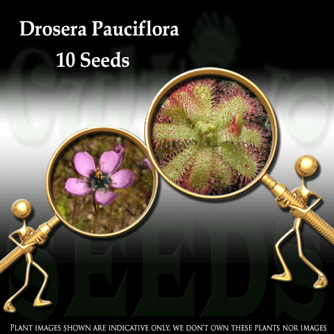 SEEDS: Sundew > Drosera Pauciflora (Pink Flower) for sale | Buy carnivorous plants and seeds online @ South Africa's leading online plant nursery, Cultivo Carnivores