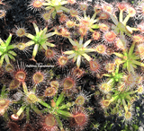 Pot o' Pygmies - Mini Version Sundews - Drosera Pulchella for sale | Buy carnivorous plants and seeds online @ South Africa's leading online plant nursery, Cultivo Carnivores