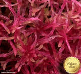 LIVE SPHAGNUM MOSS:  Mixed Species (Mostly Red) for sale | Buy carnivorous plants and seeds online @ South Africa's leading online plant nursery, Cultivo Carnivores