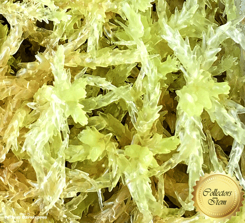 LIVE SPHAGNUM MOSS:  Species Papillosum CC#P21 for sale | Buy carnivorous plants and seeds online @ South Africa's leading online plant nursery, Cultivo Carnivores