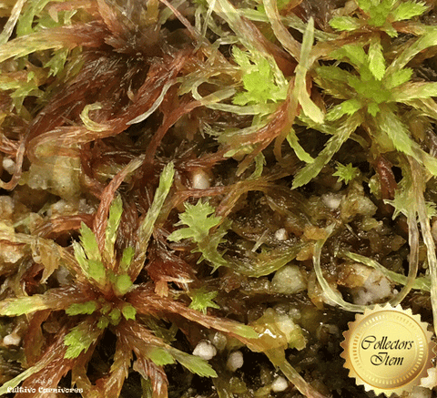 LIVE SPHAGNUM MOSS:  Species Capillifolium CC#A52 for sale | Buy carnivorous plants and seeds online @ South Africa's leading online plant nursery, Cultivo Carnivores