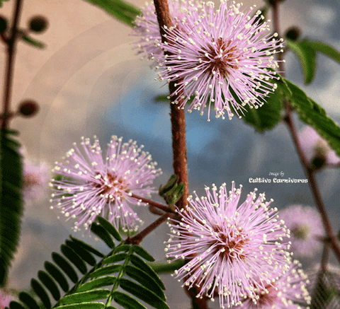 Seeds - Unusual & Exotic - The Sensitive Plant / Touch-Me-Not
