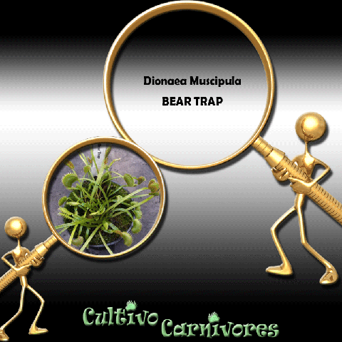 SEEDS: Venus Flytrap > Dionaea Muscipula BEAR TRAP for sale | Buy carnivorous plants and seeds online @ South Africa's leading online plant nursery, Cultivo Carnivores