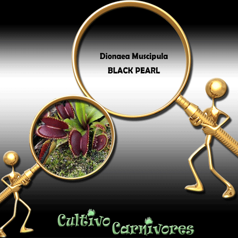 SEEDS: Venus Flytrap > Dionaea Muscipula BLACK PEARL for sale | Buy carnivorous plants and seeds online @ South Africa's leading online plant nursery, Cultivo Carnivores
