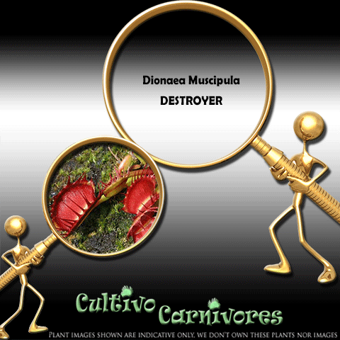 SEEDS: Venus Flytrap > Dionaea Muscipula DESTROYER for sale | Buy carnivorous plants and seeds online @ South Africa's leading online plant nursery, Cultivo Carnivores