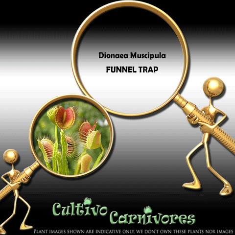 SEEDS: Venus Flytrap > Dionaea Muscipula FUNNEL TRAP for sale | Buy carnivorous plants and seeds online @ South Africa's leading online plant nursery, Cultivo Carnivores