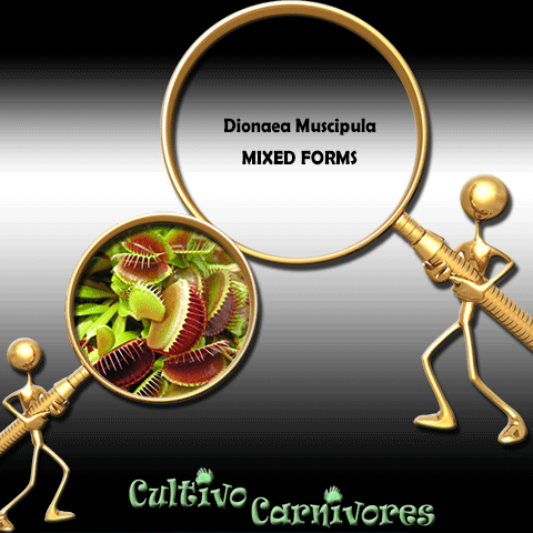SEEDS: Venus Flytrap > Dionaea Muscipula MIXED FORMS for sale | Buy carnivorous plants and seeds online @ South Africa's leading online plant nursery, Cultivo Carnivores