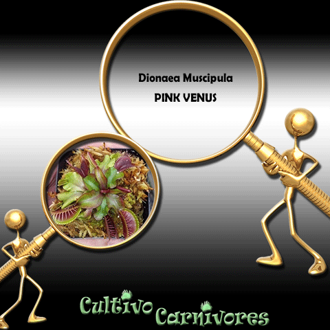 SEEDS: Venus Flytrap > Dionaea Muscipula PINK VENUS for sale | Buy carnivorous plants and seeds online @ South Africa's leading online plant nursery, Cultivo Carnivores