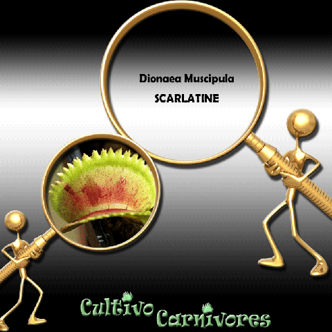 SEEDS: Venus Flytrap > Dionaea Muscipula SCARLATINE for sale | Buy carnivorous plants and seeds online @ South Africa's leading online plant nursery, Cultivo Carnivores
