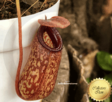 TROPICAL PITCHER PLANT: Nepenthes Aristolochioides x Ventricosa for sale | Buy carnivorous plants and seeds online @ South Africa's leading online plant nursery, Cultivo Carnivores