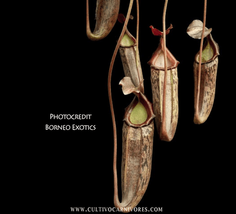 TROPICAL PITCHER PLANT: Nepenthes Boschiana x Mira BE-3675 for sale | Buy carnivorous plants and seeds online @ South Africa's leading online plant nursery, Cultivo Carnivores