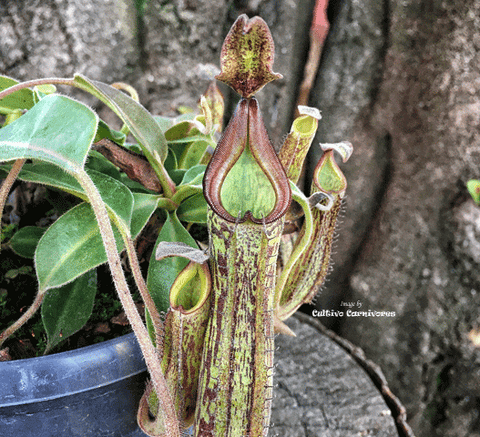 TROPICAL PITCHER PLANT: Nepenthes Fusca x Maxima for sale | Buy carnivorous plants and seeds online @ South Africa's leading online plant nursery, Cultivo Carnivores