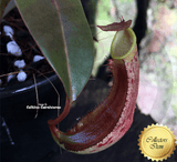 TROPICAL PITCHER PLANT:  Nepenthes Ramispina x Reinwardtiana for sale | Buy carnivorous plants and seeds online @ South Africa's leading online plant nursery, Cultivo Carnivores