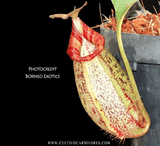 TROPICAL PITCHER PLANT: Nepenthes Robcantleyi x (Aristolochioides x Spectabilis) for sale | Buy carnivorous plants and seeds online @ South Africa's leading online plant nursery, Cultivo Carnivores