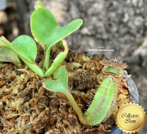 TROPICAL PITCHER PLANT: RARE! Nepenthes Robcantleyi for sale | Buy carnivorous plants and seeds online @ South Africa's leading online plant nursery, Cultivo Carnivores