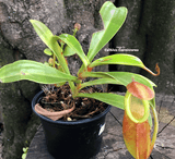 TROPICAL PITCHER PLANT: Nepenthes Spathulata x Dubia for sale | Buy carnivorous plants and seeds online @ South Africa's leading online plant nursery, Cultivo Carnivores