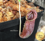 TROPICAL PITCHER PLANT: Nepenthes Spathulata x Jacquelineae BE-3894 for sale | Buy carnivorous plants and seeds online @ South Africa's leading online plant nursery, Cultivo Carnivores
