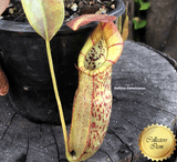 TROPICAL PITCHER PLANT: Nepenthes Spathulata x Spectabilis for sale | Buy carnivorous plants and seeds online @ South Africa's leading online plant nursery, Cultivo Carnivores