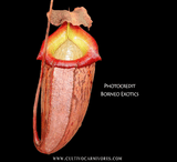 TROPICAL PITCHER PLANT: Nepenthes Talangensis x Sibuyanensis BE-3641 for sale | Buy carnivorous plants and seeds online @ South Africa's leading online plant nursery, Cultivo Carnivores