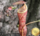TROPICAL PITCHER PLANT: Nepenthes Thorelii x Campanulata for sale | Buy carnivorous plants and seeds online @ South Africa's leading online plant nursery, Cultivo Carnivores