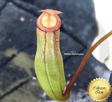 TROPICAL PITCHER PLANT: Nepenthes Ventricosa x Dubia for sale | Buy carnivorous plants and seeds online @ South Africa's leading online plant nursery, Cultivo Carnivores