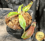 TROPICAL PITCHER PLANT: Nepenthes Ampullaria x Reinwardtiana BE3938 for sale | Buy carnivorous plants and seeds online @ South Africa's leading online plant nursery, Cultivo Carnivores