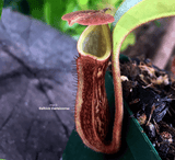 TROPICAL PITCHER PLANT: Nepenthes Rokko x Lowii x Veitchii x Boschiana for sale | Buy carnivorous plants and seeds online @ South Africa's leading online plant nursery, Cultivo Carnivores