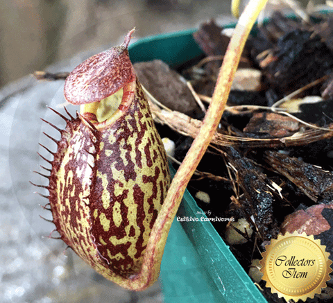 TROPICAL PITCHER PLANT: Nepenthes Spectabilis x Aristolochioides for sale | Buy carnivorous plants and seeds online @ South Africa's leading online plant nursery, Cultivo Carnivores