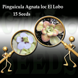 SEEDS: Butterwort > Pinguicula Agnata loc El Lobo for sale | Buy carnivorous plants and seeds online @ South Africa's leading online plant nursery, Cultivo Carnivores