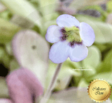 BUTTERWORT (Mexican):  Pinguicula Agnata loc El lobo for sale | Buy carnivorous plants and seeds online @ South Africa's leading online plant nursery, Cultivo Carnivores