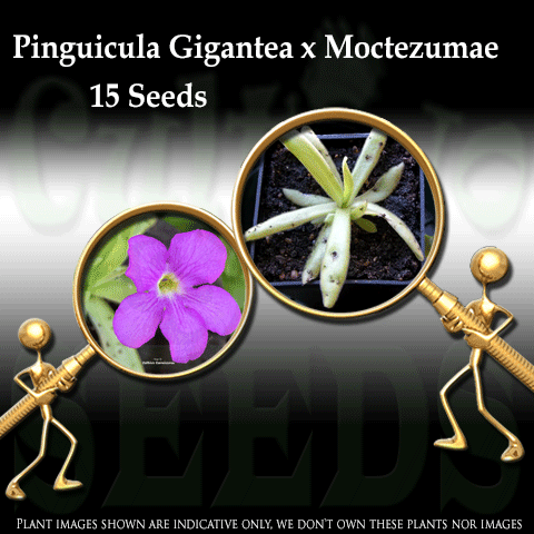 SEEDS: Butterwort > Pinguicula Gigantea x Moctezumae for sale | Buy carnivorous plants and seeds online @ South Africa's leading online plant nursery, Cultivo Carnivores