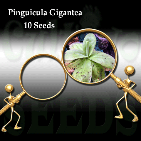 SEEDS: Butterwort > Pinguicula Gigantea for sale | Buy carnivorous plants and seeds online @ South Africa's leading online plant nursery, Cultivo Carnivores