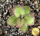 BUTTERWORT (Mexican): Pinguicula Laueana Narrow Flower for sale | Buy carnivorous plants and seeds online @ South Africa's leading online plant nursery, Cultivo Carnivores