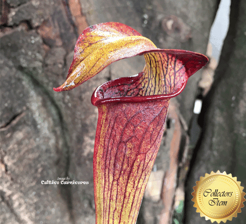 TRUMPET PITCHER: Sarracenia Alata Pubescent black for sale | Buy carnivorous plants and seeds online @ South Africa's leading online plant nursery, Cultivo Carnivores