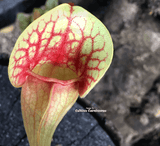 PURPLE PITCHER PLANT:  Sarracenia Purpurea ssp venosa var burkii (Seed grown) for sale | Buy carnivorous plants and seeds online @ South Africa's leading online plant nursery, Cultivo Carnivores
