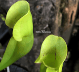 PURPLE PITCHER PLANT:  Sarracenia Purpurea ssp. purpurea loc Moss Lake, Ontario for sale | Buy carnivorous plants and seeds online @ South Africa's leading online plant nursery, Cultivo Carnivores