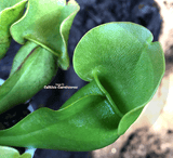 PURPLE PITCHER PLANT:  Sarracenia Purpurea ssp. purpurea (Veinless) for sale | Buy carnivorous plants and seeds online @ South Africa's leading online plant nursery, Cultivo Carnivores