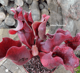 PURPLE PITCHER PLANT:  Sarracenia Purpurea ssp. venosa cv Sylwia for sale | Buy carnivorous plants and seeds online @ South Africa's leading online plant nursery, Cultivo Carnivores