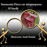 Seeds - Sarracenia Flava var atropurpurea loc Blackwater, SF for sale | Buy carnivorous plants and seeds online @ South Africa's leading online plant nursery, Cultivo Carnivores