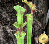 TRUMPET PITCHER: Sarracenia xMoorei Red and White form Clone IX09 for sale | Buy carnivorous plants and seeds online @ South Africa's leading online plant nursery, Cultivo Carnivores
