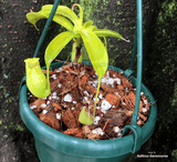 POTS & PLANTERS: Hanging Bowls (Various Sizes and Colours) for sale | Buy carnivorous plants and seeds online @ South Africa's leading online plant nursery, Cultivo Carnivores