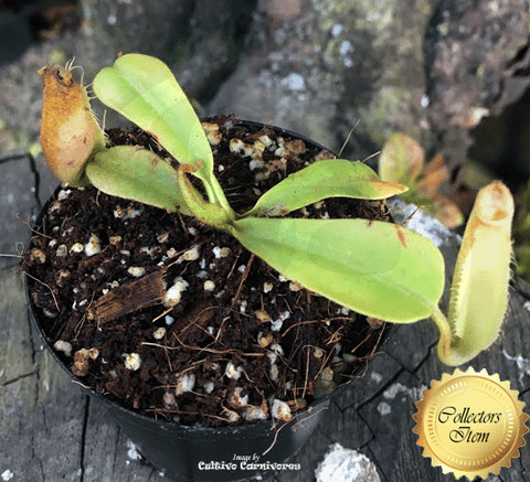 TROPICAL PITCHER PLANT:  Nepenthes (Spathulata x Mira) x Robcantleyi for sale | Buy carnivorous plants and seeds online @ South Africa's leading online plant nursery, Cultivo Carnivores