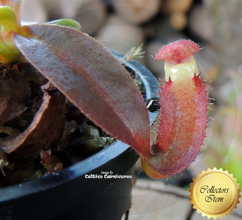 TROPICAL PITCHER PLANT: Nepenthes (Spathulata x Mira) x Bill Bailey for sale | Buy carnivorous plants and seeds online @ South Africa's leading online plant nursery, Cultivo Carnivores