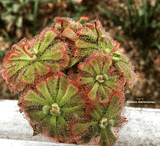 SUNDEW: Drosera Aliciae (The Alice Sundew) for sale | Buy carnivorous plants and seeds online @ South Africa's leading online plant nursery, Cultivo Carnivores