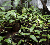 BATFLOWERS:  Tacca Chantrieri (Black Bat flower) for sale | Buy carnivorous plants and seeds online @ South Africa's leading online plant nursery, Cultivo Carnivores