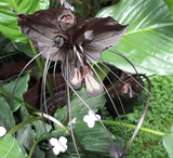 Other Exotics:  Tacca Chantrieri (Black Batflower) for sale | Buy carnivorous plants and seeds online @ South Africa's leading online plant nursery, Cultivo Carnivores