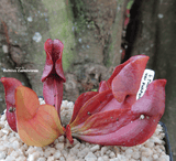 PURPLE PITCHER PLANT:  Sarracenia Purpurea ssp. Purpurea for sale | Buy carnivorous plants and seeds online @ South Africa's leading online plant nursery, Cultivo Carnivores